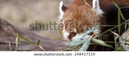 banner of a red panda shyly making eye contact with room for text - stock photo