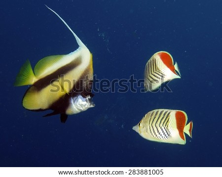 Bannerfish and butterflyfish nipping at jellyfish passing by - stock photo