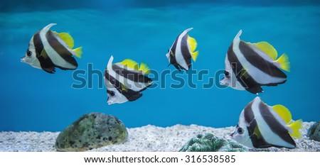 Bannerfish (Heniochus acuminatus) in the aquarium - stock photo