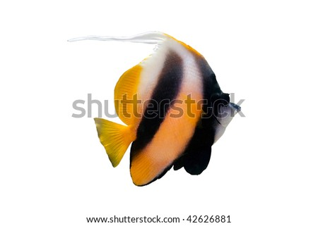 Bannerfish isolated on white - stock photo