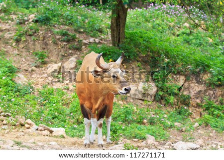 Banteng, red bull in rainforest of Thailand.
