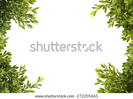 banyan green leaves isolated on white background