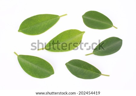 Banyan leaves on white background - stock photo