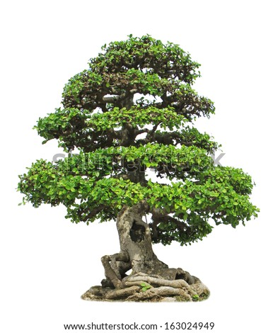 Banyan or ficus bonsai tree isolated on white background  - stock photo