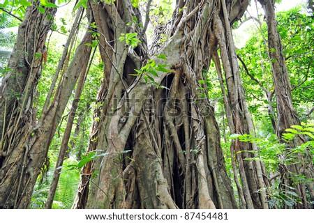 Banyan Tree, Tanna, Vanuatu - stock photo