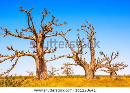 Baob tree, Africa - stock photo