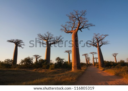 Baobab alley, Madagascar - stock photo