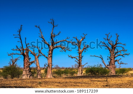 Baobab in Africa - stock photo