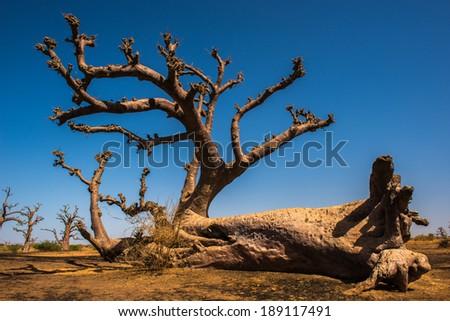 Baobab in Africa, Senegal - stock photo