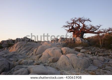 Baobab in Lekhubu island, Makgadikgadi - stock photo