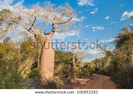 Baobab near Andavadoaka, western Madagascar - stock photo
