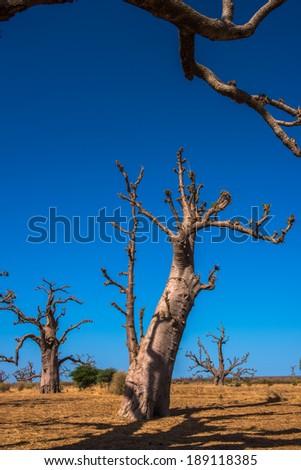 Baobab, Senegal, Africa - stock photo