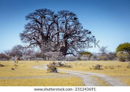 Baobab Tree - stock photo