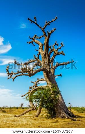 Baobab tree, Africa - stock photo