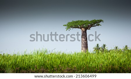 Baobab tree and lush green grass at sunny day - stock photo