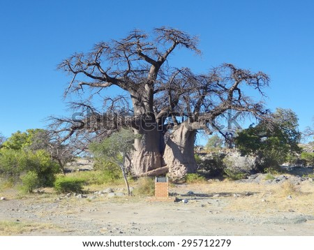 baobab tree at Kubu Island in the Makgadikgadi Pan area of Botswana, Africa - stock photo