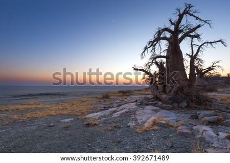 Baobab tree before sunrise - stock photo