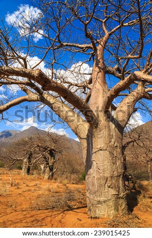 Baobab tree in Africa on a sunny day - stock photo