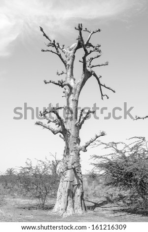 Baobab tree in black and white - stock photo