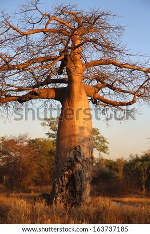 Baobab Tree in Botswana - stock photo