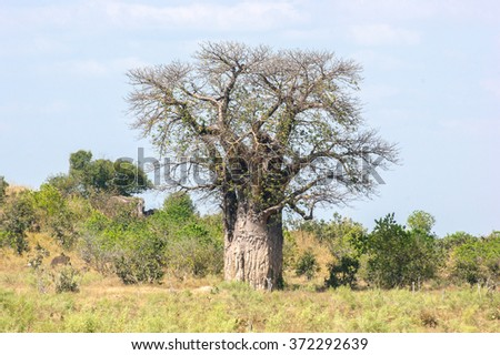 baobab tree in Botswana, Africa - stock photo