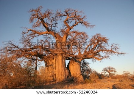 Baobab tree in Botswana, Southern Africa - stock photo