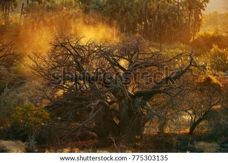 baobab tree in savannah in Namibia
