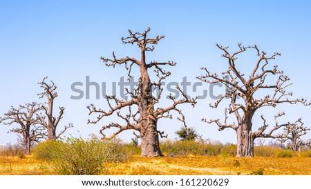 Baobab tree in Senegal, Africa - stock photo