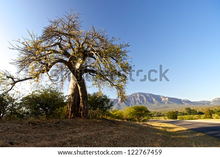 Baobab tree in South Africa - stock photo