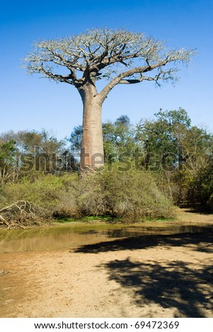 Baobab tree in the savannah of Madagascar - stock photo