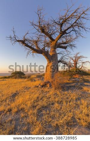 Baobab Tree in winter - stock photo