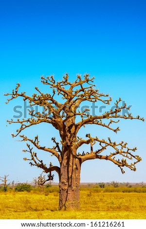 Baobab tree, nature of Africa - stock photo