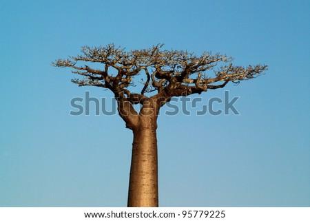 Baobab tree single over plain blue sky - stock photo