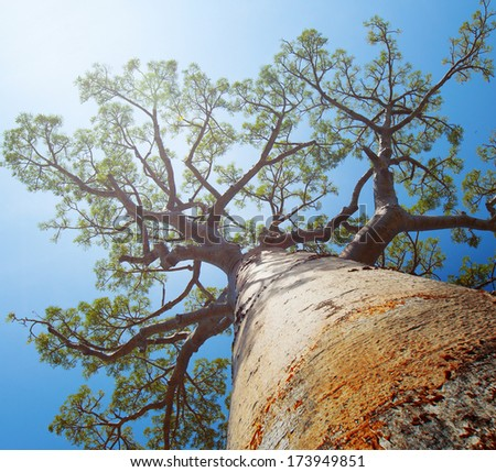 Baobab tree with green leaves on a blue clear sky background. Madagascar - stock photo