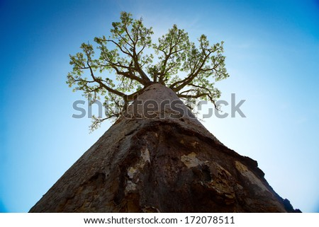 Baobab tree with green leaves on blue clear sky background. Madagascar - stock photo