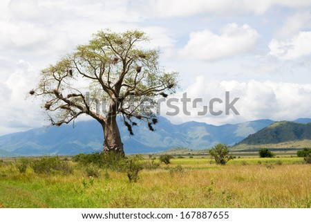 Baobab tree with weaver bird nests - stock photo