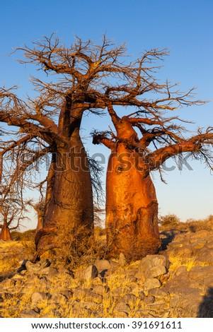 Baobab trees at sunrise - stock photo