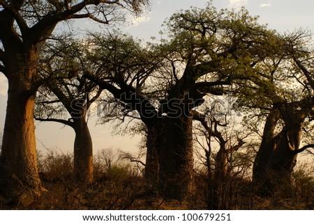 Baobab trees at sunset, Botswana - stock photo