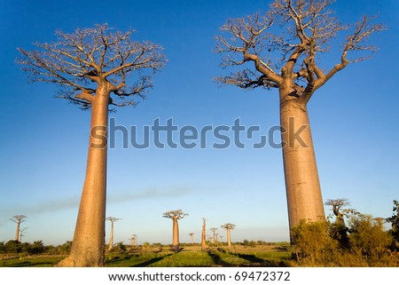 Baobab trees from Madagascar in the savannah of Madagascar - stock photo