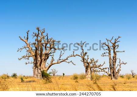 Baobab trees in Africa - stock photo