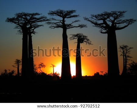 Baobab trees in Madagascar. - stock photo