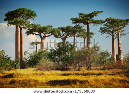 Baobab trees on a dry land at sunny day. Madagascar - stock photo