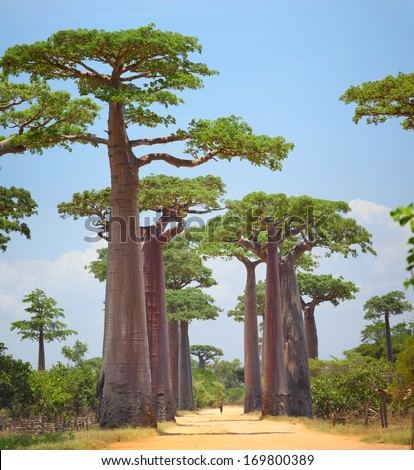 Baobabs and rural road in Africa at sunny day. Madagascar - stock photo