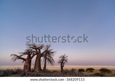 Baobabs at twilight - stock photo