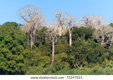Baobabs endemic to Madagascar by the river Tsiribihina - stock photo