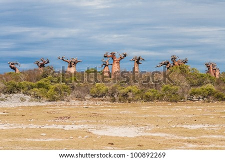 Baobabs near Andavadoaka, western Madagascar - stock photo