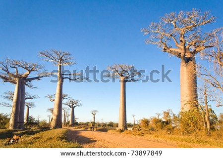 Baobabs trees from Madagascar in the savannah of Madagascar - stock photo