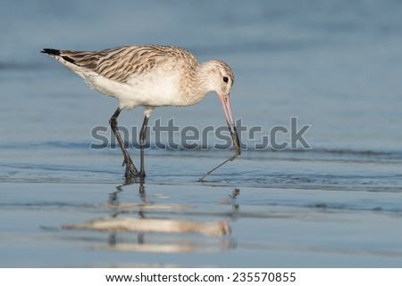 Bar-tailed Godwit (Limosa lapponica) pulling a worm out of the sand - stock photo