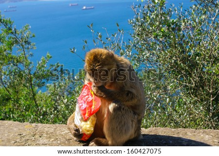 Barbaby Ape sitting on wall overlooking the port area, Gibraltar, UK, Western Europe. - stock photo