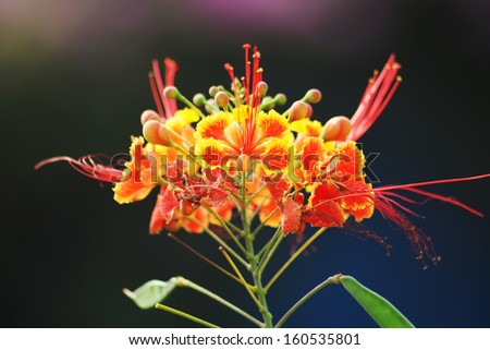 Barbados  Pride , peacock  Flower ( Caesalpinia pulcherrima (L.) Sw.) - stock photo